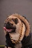 stock photo of gangster  - Pug dog wearing black jacket with fur hood and big golden necklace gangster look profile studio shot - JPG