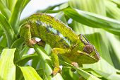 pic of chameleon  - Closeup of a chameleon among the leaves of a tree - JPG