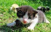 stock photo of baby chick  - Kitten and baby chicks on the grass enjoying spring - JPG