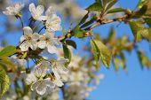picture of tree-flower  - Apple tree flowers - JPG