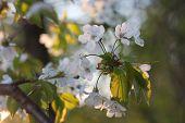 pic of tree-flower  - Apple tree flowers - JPG