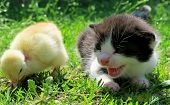 picture of baby chick  - Kitten and baby chicks on the grass enjoying spring - JPG