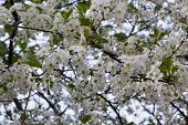 pic of naturalist  - flowering fruit tree in the young naturalist station - JPG