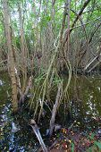Mangroves Of Puerto Rico