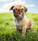 a cute chihuahua pug mix puppy (chug) looking at the camera with and a butterfly on her nose in a ba poster