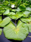 Water Plant In Spring Summer Pond poster