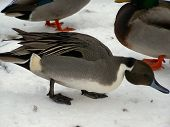 Pintail Duck Close Up