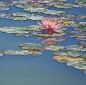 Beautiful Pink Lotus (nymphaeaceae) In Blue Water Pond