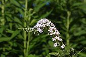 White Gooseneck Flower