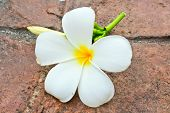 White Frangipani On Ground