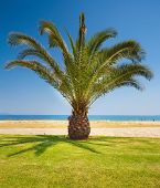 picture of nea  - A beautiful palm tree on a beach Greece Nea Vrasna summer season - JPG