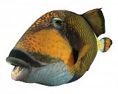 Titan Triggerfish fish isolated on white background poster