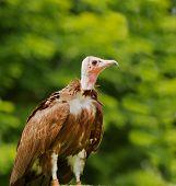 Turkey Vulture Profile