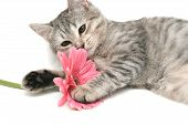 The Grey Cat Plays With A Pink Flower