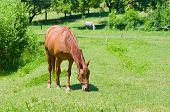 Grazing chestnut mare on a summer pasture