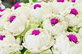 White Lotus And Glob-amaranth Comoran Flower