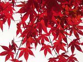 Fächer-Ahorn Blätter gegen Himmel