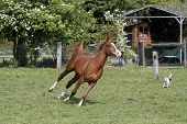 Galloping Arabian Stallion In A Pasture