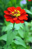 Zinnia flower (Zinnia sp)