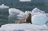 Harbor Seal On Ice Flow