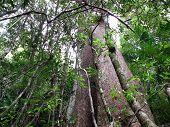 Gigante de la selva