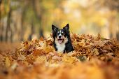 Dog In The Yellow Leaves In Autumn In The Park. Pet For A Walk. Tri-color Border Collie poster