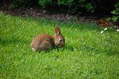 Conejo salvaje bebé