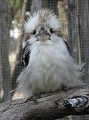 image of blue winged kookaburra  - this is a picture of a laughing kookaburra - JPG