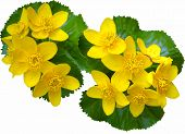 pic of sakhalin  - Yellow flower grows the early springtime on island Sakhalin.Isolated.     ** Note: Slight blurriness, best at smaller sizes - JPG