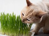Cat Eats Grass. Cat Is Eating Fresh Green Grass. Cat Grass, Pet Grass. Natural Hairball Treatment, W poster