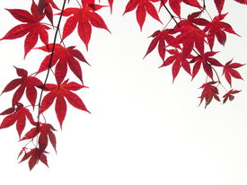picture of maple tree  - Two branches of a Japanese maple shot from the ground bright white sky background - JPG