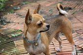 A chiwawa dog