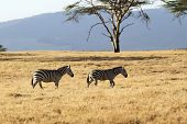 Two zebras photographed near Lake Naivasha, Kenya.