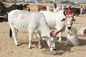 Two holy cows with panted pink horns and colourful handprints at camel mela in Pushkar,India
