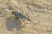 foto of animals sex reproduction  - Tiger Beetles on the beach in the wild - JPG