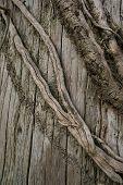 Dead Ivy Closeup 2