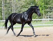 Black stallion of Russian riding breed running on manege