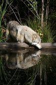 Lobo reflexión Ii