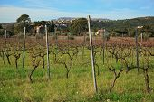 Vineyards Of Cassis On The Background Of Blue Sky Winter