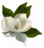 illustration with single magnolia flower isolated on white background
