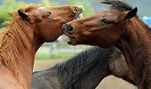 Horse Fighting And Biting