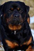 Faithful Trusting Rottweiler