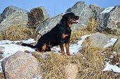 Happy Rottweiler Sitting Amongst Rocks