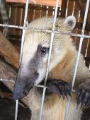 stock photo of coatimundi  - the image of nice coati in zoo