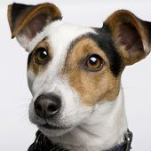 stock photo of jack russell terrier  - Jack russell  - JPG
