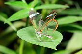 Glasswing (Greta oto) on a leaf