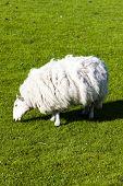 sheep on meadow, Highlands, Scotland