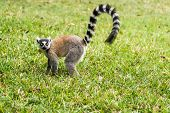 Lemur Catta Of Madagascar