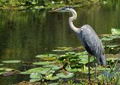 Great Blue Heron (ardea Herodias) Standing At Waters Edge