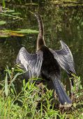 Female Anhinga Bird Drying Its Wings